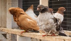 chinese pigeons - Google Search
