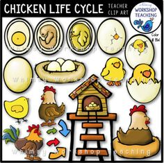 This clip art set includes everything you need to illustrate the life cycle of a chicken. These images are both whimsical and accurate, and many can be used for other projects as well! Included: -single egg -eggs in a nest -cross section of egg with yolk (minimal growth) -cross section of egg with partially grown chick -cross section of egg with chick ready to hatch -egg partially broken with beak -egg broken open to reveal chick -half of egg shell with chick -chick out of shell ...