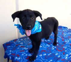 Howdy! My name is Snook and I am a happy 4 month old Lab mix puppy. I've got a cute face, big smile and lovable personality! All I need is a little training and family of my own. I wonder... could I get both from you? I tell you what... if you could do that then I would be your best pal!  Animal #: 474854 Name: Snook Sex: Male Age: Approx 4 Months Breed: Lab Mix Color: Black