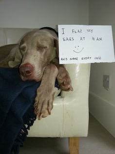 I Flap My Ears At 4am And Wake Every One Up...that is a Weim thing!