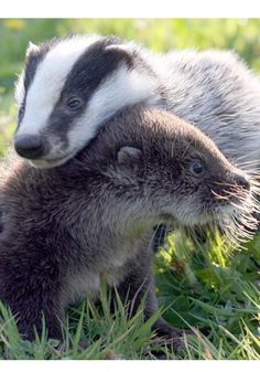 Baby badger and baby otter.  *dies of cuteness overload*