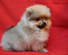 Baby Pom's they are so cute!!