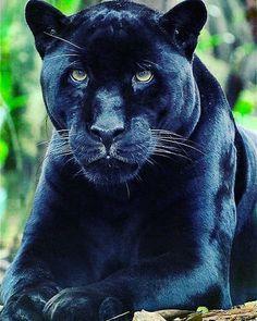 new ideas wild nature photography big cats Black Panther Images, Black Panther Cat, Baby Panther, Panther Pictures, Florida Black Panther, Beautiful Cats, Animals Beautiful, Beautiful Pictures, Nature Animals