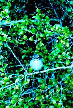 Karoo Scrub-Robin, Kirstenbach Gardens, Western Cape, SA, sep 30, 2016