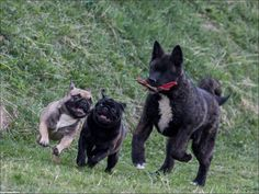 French Bulldogs and a Wolfhound