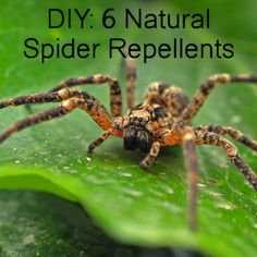 6 DIY Spider Repellent Sprays: Peppermint Oil & Vinegar Pepper Spray  I used 1 cup water, 1 cup vinegar, 5 drops peppermint oil and 5 drops soap. I'll see if it works