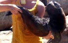 Híbrido entre #León marino y #Lobo a sido descubierto en #Huruguay