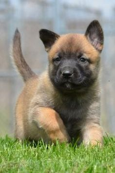 Belgian Malinois puppy for sale in MANTECA, CA. ADN-25763 ...