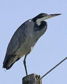 Image result for reier bird in english