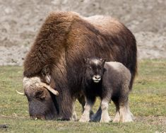 Baby and Mom Muskox