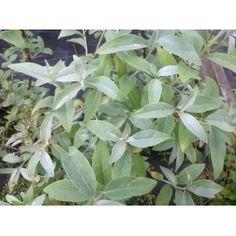 SILVERBUSKE 'Zempin' 1-PACK Elaeagnus commuta 'Zempin') En ny, mycket härdig och vital buske. Bladverket är mycket dekorativt med helt silvriga blad. Extremt vind- och salttålig. Silverbuske ska beskäras före knoppsprickning. Höjd 1,5-2 m. Lev. i stor kruka. SOL-HSK. Zon 1-8.