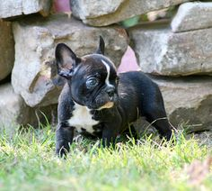 I found my puppy, french bulldog, boston terrier mix!
