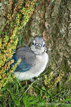 there is something about a baby blue jay that makes me think of a little old man.   I've only come across one set of them ,and they looked just like this!  hehe.  adorable!