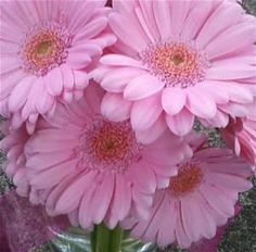 Pink Gerber Daisy - Bing Images