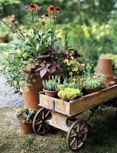 Erysimum cheiri English Wallflower or Aegean wallflower Italy