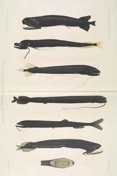 Engraving Illustration, Antique Illustration, Botanical Illustration, Illustration Art, Deep Sea Creatures, Curious Creatures, Zoo 2, Illustration Botanique, Angler Fish