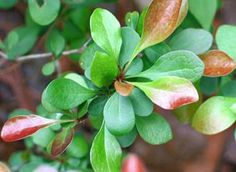 Seven Useful Shade Tolerant Groundcovers For Tough Spots Japanese Barberry Foliage - James H. Japanese Barberry, Deer Resistant Plants, Invasive Plants, Pool Installation, Above Ground Swimming Pools, Holiday Break, Forest Service, Garden Pests, Winter Time