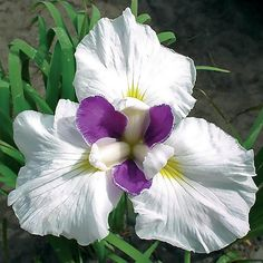 Spring Hill Nurseries Fortune Japanese Iris, Live Bareroot Perennial Plant, Purple and White Flowers (1-Pack)-62835 - The Home Depot Purple And White Flowers, Love Flowers, White Flowers, Purple Flowers, Iris Garden, Iris Flowers, Unusual Plants, Perennials, Japanese Iris