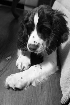 springer spaniel, reminds me of my dog I had when I was a child. Looks just like Stephanie. I would love to have another. Such a good dog.
