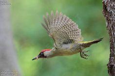 Green Woodpecker, Pic Vert, Flocking, Bird Feathers, Parrot, Owl, Birds, Tatoos, British