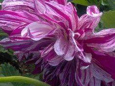 Campobello flower taken by Lynn Craig