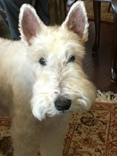 Fox terrier is trying to telepathically ask for treats