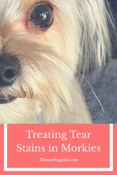 How to treat your morkie tear stains? the full guide here
