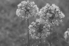 life by trixie.wtf #capture #moments #blackandwhite #photography #life #flower #raindrop