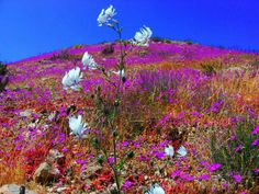 The Atacama Desert, one of the driest places on Earth, has exploded into a riot of color thanks to a rare spring flower bloom. Desert Flowers, Spring Flowers, Wild Flowers, Rare Flowers, Amazing Flowers, Beautiful Flowers, Chili, Fauna, Wonders Of The World