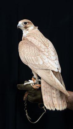 Golden Saker falcon