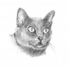 Korat Cat - Graphite on Paper Tiffany Landale - Bespoke Portraiture -  www.foxkay.co.uk Korat Cat, Graphite, Bespoke, Tiffany, Cats, Paper, Animals, Graffiti, Taylormade