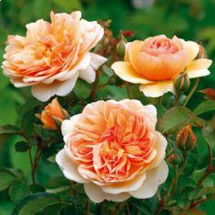 Port Sunlight ros Flora Linnea