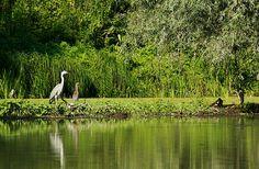 pasari - birds in Danube