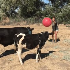 Cows and ball