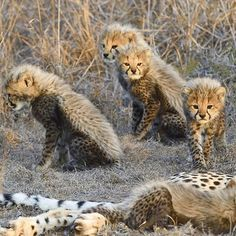 An adorable bunch of cheetah cubs captured by @andywcoleman for @natgeo
