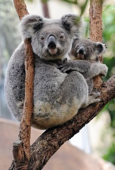 31 cute animals cuddling that'll make your day so much better - A female koala cuddles her joey in the fork of a gum tree at Wild Life Sydney on December - Cute Baby Animals, Animals And Pets, Funny Animals, Koala Baby, Baby Sloth, Australian Animals, Tier Fotos, Cute Animal Pictures, Animal Photography