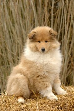 Collie puppy I want him!