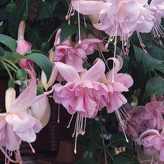 Holly's Beauty Fuchsia
