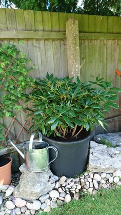 Moved my Rhododendron to a big (cheap) pot under the pine tree. Guy at Megaplants said they do well under the canopy of trees (Sandringham) so hopefully we'll get more flowers next year!