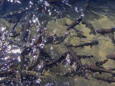 Chubut, Trevelin, Criadero de peces