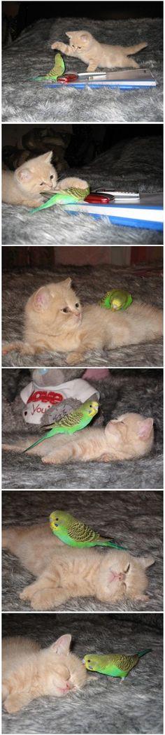 Kitten and Budgerigar