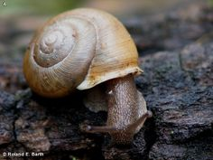 White-Lip Globe snail on Fontenelle Forest Nature Search.