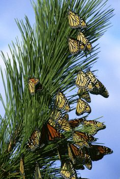 Monarch butterflies are not able to survive the cold winters of most of the United States so they migrate south and west each autumn to escape the cold weather. -