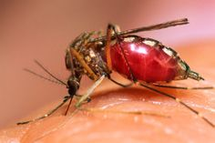 Apunte El Dengue.Conceptos e infografías | Sitio de Recursos Educativos para Formadores