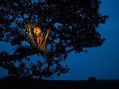 A tree-climbing lion stirs in Uganda's Queen Elizabeth National Park.  Photograph by Joel Sartore