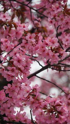 Cherry blossom in Munich