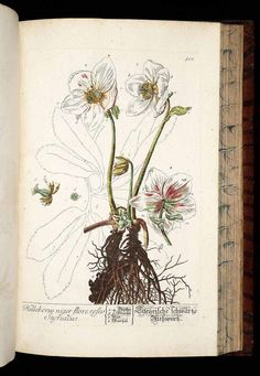 Helleborus niger L. Christmas rose Blackwell, E., Herbarium Blackwellianum, vol. 6: t. 508 (1773) - PRINTABLE