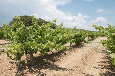 Vinyes de Ferré i Catasús . Finca de Font Rubí
