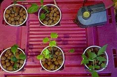 Hydroponics for beginners (and aquaponics - with fish) This could be something to do with the kids...