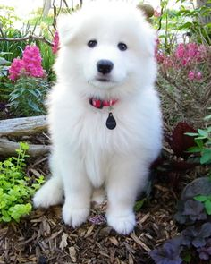 Samoyed ~ What a cutie! My next dog will be a Samoyed : ) Fluffy Animals, Animals And Pets, Baby Animals, Cute Animals, Samoyed Dogs, Pet Dogs, Dogs And Puppies, Cute Puppies, Doggies